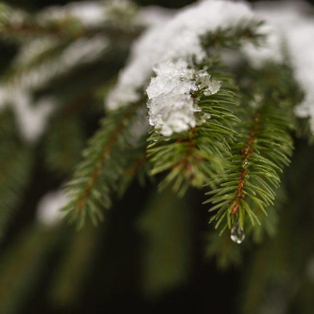 Neige qui fond sur un sapin au Revard en Savoie