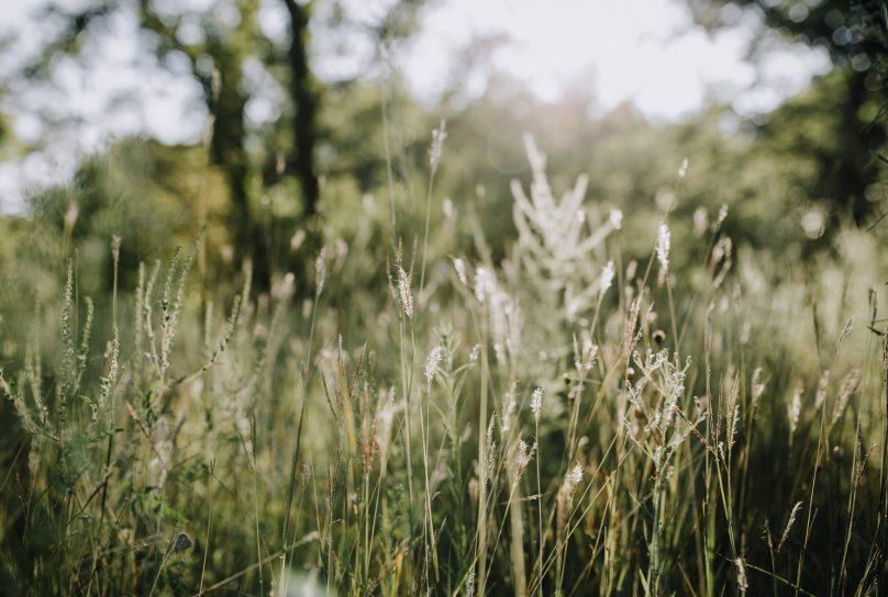 Herbes hautes dans le soleil d'été